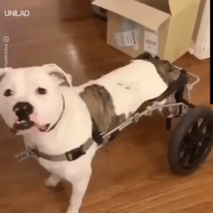 "Dank, 🤖, and Got: UNILAD  O PIGEONPUP ""We got our handicapped dog a wheelchair and she absolutely loves it!"" 😍🐶"