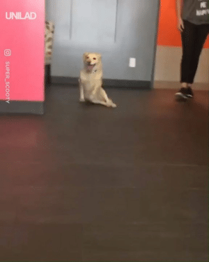 This paralyzed dog was super excited to see her human after daycare...: UNILAD  SUPER SCOOTY This paralyzed dog was super excited to see her human after daycare...