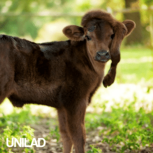Dank, Family, and Life: UNILAD This 5 legged calf was seperated from it's mother,  but a lovely family took her on and now she's living life to the full! 🐮😍
