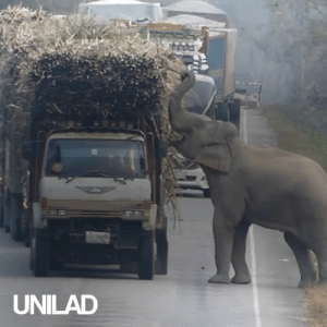 This cheeky elephant caused a traffic jam because he wanted some sugar cane 😂🐘: UNILAD This cheeky elephant caused a traffic jam because he wanted some sugar cane 😂🐘