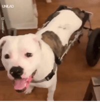 Dank, Dogs, and 🤖: UNILAD This dogs reaction to getting her first wheelchair is so pure 😍🐶