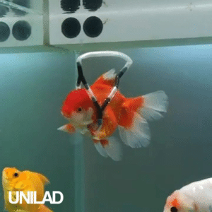 This guy built a 'wheelchair' to stop his disabled goldfish from swimming upside down 😩❤️️: UNILAD This guy built a 'wheelchair' to stop his disabled goldfish from swimming upside down 😩❤️️