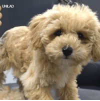 Dank, Haircut, and Heart: UNILAD This poodle pup's first haircut is melting my heart 😩😍