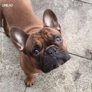Beautiful, Dank, and Today: UNILAD Today is 'Bulldogs Are Beautiful Day'... And this is why bulldogs are just as beautiful as every other dog 😍😂
