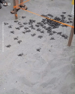 Dank, Winter, and Ocean: UNILAD  VIRALHOG/CURTIS WINTER The incredible moment these sea turtle hatchlings begin their adventure into the ocean 😍🐢