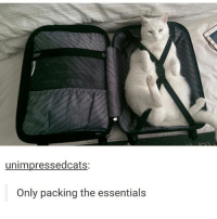 Memes, 🤖, and Essentials: unimpressedcats:  Only packing the essentials traveling lite - Max textpost textposts
