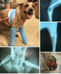 Memes, Staples, and 🤖: UNION, SC.....4 y/o Red Heeler Hit by Car.  Has 3 Broken Legs and Pelvis is Broken in multiple areas.  Please, Help Us, Help Her by DONATING.  http://www.noahs-arks.net/animal/view/minnie-pearl-red-heeler#.WJ4kVBiZN-U  UNION, SC.....We were contacted by Animal Control concerning a beautiful four-year-old Red Heeler that had been hit by a car and was in shock from all the injuries.   This sweet pup was seen by a Vet but needed a Specialists, or they would have to PTS.   The original e-mail said she had four broken legs and was in incredible pain.  I immediately said we would take her because I knew no one else would.   Minnie Pearl was taken to Carolina Veterinary Specialists in Matthews, NC where she was immediately taken to the ER, and Dr. Sean Gallivan took over her care since he was on call.      Minnie Pearl does not have four broken legs but has three and also has a broken pelvis in addition to a lot of other things going on.   Radiographs revealed a fracture of the right radius and ulna, fracture of the left distal tibia and fibula, fracture of the right ilial body, craniolateral luxation of the left elbow, left sacroiliac luxation, fracture of the left ischiatic notch, and pubic fractures.   On top of all this, someone had stapled shut a wound she had that was now terribly infected.  This sweet pup was a hot mess and in terrible pain.   The ER Team got her stabilized for the night so the Surgical Team could take over in the morning.     Surgery got together and decided they had to start stabilizing some of the breaks to give her some relief.   We have been working on Minnie Pearl for the past week, and there is still more surgery to do.    We have seen a lot of broken pups, but this one seems to have been hit hard enough to have been thrown with incredible force.  Dr. Gallivan repaired the pelvis and the tibia in hopes it would give Minnie Pearl some much-needed relief.  It helped, but she was still in incredible pain.    We had to wait