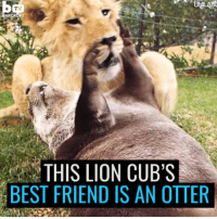 This lion cub and otter are best friends and it's adorable 😍: UNLAD  TV  BARCROFT  THIS LION CUB'S  BEST FRIEND IS AN OTTER This lion cub and otter are best friends and it's adorable 😍