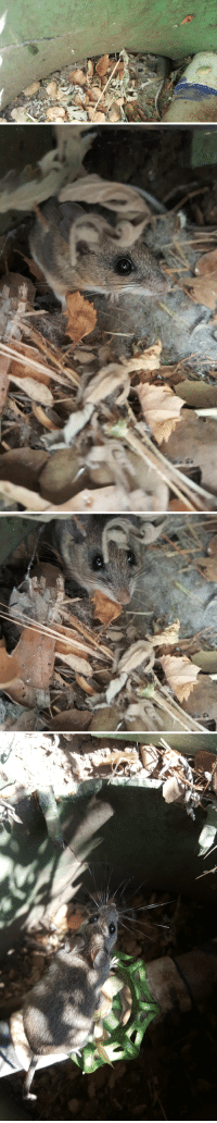 Unlike most mice Peromyscus californicus is truly monogamous, and once mated will stay paired for life. Here are a few I found at my tree restoration site in the Santa Monica Mountains, California.: Unlike most mice Peromyscus californicus is truly monogamous, and once mated will stay paired for life. Here are a few I found at my tree restoration site in the Santa Monica Mountains, California.
