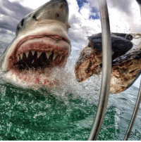 Memes, Shark, and Sharks: Unreal close up picture of a Great White Shark theladbible shark unreal greatwhiteshark