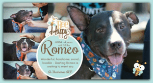 INTAKE DATE: 07-12-2019  Volunteer Misha Writes: Summer is the best season to fall in love and that's just what you'll do with sweet Romeo. This angel on four legs is so perfectly named with his dashing good looks and loving ways, and those eyes! Be still my heart. Romeo is just who'll want to accompany you on a romantic summer stroll with his easy walk and attentive gaze. And when it's time to find solace from the sun who better to lounge with in the cool of shade, than our beautiful, big-hearted boy. Where for art thou, Romeo? But the answer is clear, he's at 326 East 110th street. Waiting to meet you and still your heart, and live happily, lovingly ever after. Romeo is waiting in adoptions at Manhattan ACC.  ROMEO@MANHATTAN ACC Romeo ID# 68984  Sex: Male Age: 4 years old Length: Short Is Vaccinated: Yes Coat Type: Smooth Primary Color: Black Weight: 53.5 lbs. Intake Date: 07-12-2019 My health has been checked My vaccinations are up to date My worming is up to date Please take note of the Animal ID before contacting shelter    MY VIDEO:  Romeo and Chiblanca in Playgroup https://youtu.be/K7ajLlEe3aM  Romeo and Faith in Playgroup https://youtu.be/4qeXLKw3758  *** TO FOSTER OR ADOPT ***   If you would like to adopt a NYC ACC dog, and can get to the shelter in person to complete the adoption process, you can contact the shelter directly. We have provided the Brooklyn, Staten Island and Manhattan information below. Adoption hours at these facilities is Noon – 8:00 p.m. (6:30 on weekends)  If you CANNOT get to the shelter in person and you want to FOSTER OR ADOPT a NYC ACC Dog, you can PRIVATE MESSAGE our Must Love Dogs page for assistance. PLEASE NOTE: You MUST live in NY, NJ, PA, CT, RI, DE, MD, MA, NH, VT, ME or Northern VA. You will need to fill out applications with a New Hope Rescue Partner to foster or adopt a NYC ACC dog. Transport is available if you live within the prescribed range of states.  Shelter contact information: Phone number (212) 788-4000 Email adop