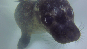 unvisitableroom:  sealrescueireland: Moss showing off his underwater pupil dilation, an adaptation that allows him to let in as much light as possible while swimming! MOSS LOVES TO LOOK! HE CAN SEE AS MUCH LIGHT AS HE WANTS! : unvisitableroom:  sealrescueireland: Moss showing off his underwater pupil dilation, an adaptation that allows him to let in as much light as possible while swimming! MOSS LOVES TO LOOK! HE CAN SEE AS MUCH LIGHT AS HE WANTS!