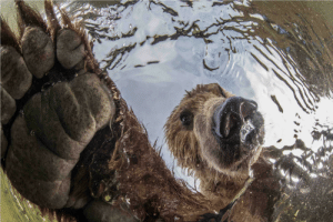 Bear, Russia, and Salmon: Up close shot of a large brown bear as it fishes for salmon in Russia.