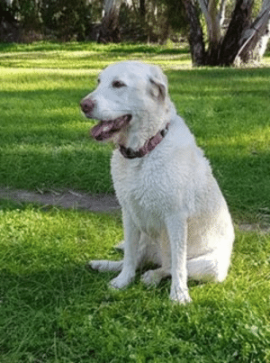 """***UPDATE - Home safe***  SIGHTING DOG Redwood Park #Adelaide 4/07/19 1:30pm """"Bella"""" Last seen running along Kingfisher Reserve past Jubilee Way duck pond towards Wynn Vale dam Tea Tree Gully Council called: ***UPDATE - Home safe***  SIGHTING DOG Redwood Park #Adelaide 4/07/19 1:30pm """"Bella"""" Last seen running along Kingfisher Reserve past Jubilee Way duck pond towards Wynn Vale dam Tea Tree Gully Council called"""