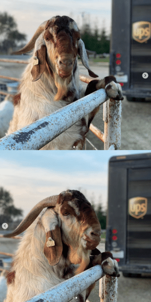ups-dogs:Charmer the goat loves his UPS man. He greets him everytime he has a delivery.❤️: ups-dogs:Charmer the goat loves his UPS man. He greets him everytime he has a delivery.❤️