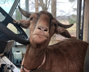 ups-dogs:  Goaty wanting his turn at Big Brown. - Carthage, MS: ups-dogs:  Goaty wanting his turn at Big Brown. - Carthage, MS