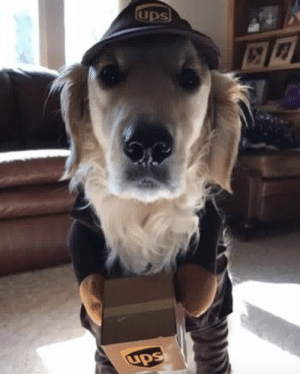 Dogs, Target, and Tumblr: ups-dogs:He is very serious about his new job. Thanks Nicole