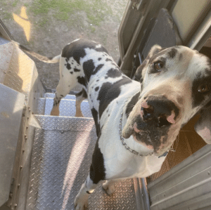 "ups-dogs:Meet ""Clark"",my large,serious,three biscuit schmoozer. This big guy doesn't run,he gallops.- Walt-Mariposa Ca.: ups-dogs:Meet ""Clark"",my large,serious,three biscuit schmoozer. This big guy doesn't run,he gallops.- Walt-Mariposa Ca."