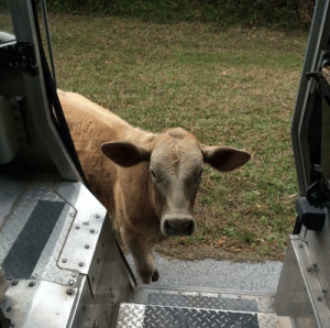 ups-dogs:Sometimes the calves like to check us out too I guess. Aj Davidson, Sarasota Florida: ups-dogs:Sometimes the calves like to check us out too I guess. Aj Davidson, Sarasota Florida
