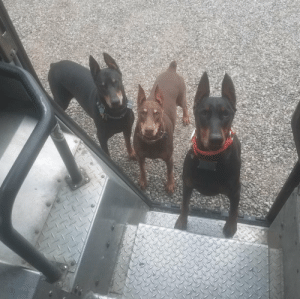 Beautiful, Definitely, and Dogs: ups-dogs:The Three Musketeers waiting patiently for their treats in Ostrander, Ohio. I will definitely miss my customers and all their beautiful pups! Tim Greene