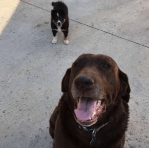 Dogs, Love, and Target: ups-dogs:This is Petey and Oakley. From Riceville, Iowa. They love when the ups guy comes every day! Petey has nailed down the sound of the truck from a mile away and can tell if it's the ups guys or FedEx guy. He for some reason likes the ups guy better! Thanks Erica