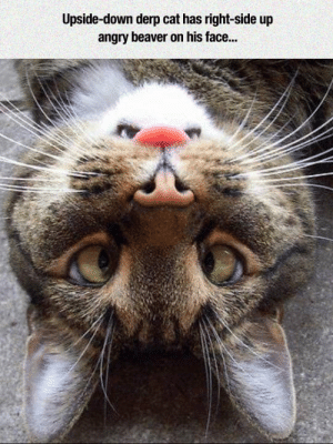 laughoutloud-club:  Face On Face: Upside-down derp cat has right-side up  angry beaver on his face... laughoutloud-club:  Face On Face