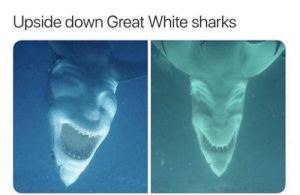 Who needs sleep?: Upside down Great White sharks Who needs sleep?