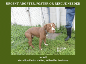 *Please note this animal is not with AAVA - we are networking for rescue as the liaison for the shelter* This baby is in a kill shelter in Abbeville, LA which does not allow public adoptions. Animals must be pulled by an approved rescue or can be adopted through AAVA.  TO ADOPT - fill out an application at http://aavarescue.com/adoptions.php  RESCUES - all rescues must now go through AAVA. Please contact us at animalaidvermilion@gmail.com. If you are not already approved please fill out a rescue application at http://aavarescue.com/rescues.php  TO FOSTER - fill out an application at http://aavarescue.com/volunteer.php  If you have any questions please contact us at animalaidvermilion@gmail.com or (337) 366-0212 or visit our website http://aavarescue.com for more information.  To donate to AAVA's general rescue fund which helps support the shelter animals needs visit this link http://paypal.me/animalaidvermilion or visit our website http://aavarescue.com/support-our-rescue.php Shelter needs can include items such as laundry detergent, baby pools, flea medication, dawn soap, heaters and fans, toys, gas for transports, pull fees for unfunded animals and other types of items.: URGENT ADOPTER, FOSTER OR RESCUE NEEDED  019/03/04  Jeckell  Vermilion Parish shelter, Abbeville, Louisiana *Please note this animal is not with AAVA - we are networking for rescue as the liaison for the shelter* This baby is in a kill shelter in Abbeville, LA which does not allow public adoptions. Animals must be pulled by an approved rescue or can be adopted through AAVA.  TO ADOPT - fill out an application at http://aavarescue.com/adoptions.php  RESCUES - all rescues must now go through AAVA. Please contact us at animalaidvermilion@gmail.com. If you are not already approved please fill out a rescue application at http://aavarescue.com/rescues.php  TO FOSTER - fill out an application at http://aavarescue.com/volunteer.php  If you have any questions please contact us at animalaidvermilion@gmail.com or (337) 366-0212 or visit our website http://aavarescue.com for more information.  To donate to AAVA's general rescue fund which helps support the shelter animals needs visit this link http://paypal.me/animalaidvermilion or visit our website http://aavarescue.com/support-our-rescue.php Shelter needs can include items such as laundry detergent, baby pools, flea medication, dawn soap, heaters and fans, toys, gas for transports, pull fees for unfunded animals and other types of items.