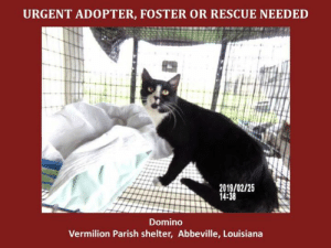 *Please note this animal is not with AAVA - we are networking for rescue as the liaison for the shelter* This baby is in a kill shelter in Abbeville, LA which does not allow public adoptions. Animals must be pulled by an approved rescue or can be adopted through AAVA.  TO ADOPT - fill out an application at http\://aavarescue.com/adoptions.php  RESCUES - all rescues must now go through AAVA. Please contact us at animalaidvermilion@gmail.com. If you are not already approved please fill out a rescue application at http\://aavarescue.com/rescues.php  TO FOSTER - fill out an application at http\://aavarescue.com/volunteer.php  If you have any questions please contact us at animalaidvermilion@gmail.com or (337) 366-0212 or visit our website http\://aavarescue.com for more information.  To donate to AAVA's general rescue fund which helps support the shelter animals needs visit this link http\://paypal.me/animalaidvermilion or visit our website http\://aavarescue.com/support-our-rescue.php Shelter needs can include items such as laundry detergent, baby pools, flea medication, dawn soap, heaters and fans, toys, gas for transports, pull fees for unfunded animals and other types of items.: URGENT ADOPTER, FOSTER OR RESCUE NEEDED  2019/02/25  14:38  Domino  Vermilion Parish shelter, Abbeville, Louisiana *Please note this animal is not with AAVA - we are networking for rescue as the liaison for the shelter* This baby is in a kill shelter in Abbeville, LA which does not allow public adoptions. Animals must be pulled by an approved rescue or can be adopted through AAVA.  TO ADOPT - fill out an application at http\://aavarescue.com/adoptions.php  RESCUES - all rescues must now go through AAVA. Please contact us at animalaidvermilion@gmail.com. If you are not already approved please fill out a rescue application at http\://aavarescue.com/rescues.php  TO FOSTER - fill out an application at http\://aavarescue.com/volunteer.php  If you have any questions please contact us at animalaidvermilion@gmail.com or (337) 366-0212 or visit our website http\://aavarescue.com for more information.  To donate to AAVA's general rescue fund which helps support the shelter animals needs visit this link http\://paypal.me/animalaidvermilion or visit our website http\://aavarescue.com/support-our-rescue.php Shelter needs can include items such as laundry detergent, baby pools, flea medication, dawn soap, heaters and fans, toys, gas for transports, pull fees for unfunded animals and other types of items.