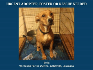 *Please note this animal is not with AAVA - we are networking for rescue as the liaison for the shelter* This baby is in a kill shelter in Abbeville, LA which does not allow public adoptions. Animals must be pulled by an approved rescue or can be adopted through AAVA.  TO ADOPT - fill out an application at http://aavarescue.com/adoptions.php  RESCUES - all rescues must now go through AAVA. Please contact us at animalaidvermilion@gmail.com. If you are not already approved please fill out a rescue application at http://aavarescue.com/rescues.php  TO FOSTER - fill out an application at http://aavarescue.com/volunteer.php  If you have any questions please contact us at animalaidvermilion@gmail.com or (337) 366-0212 or visit our website http://aavarescue.com for more information.  To donate to AAVA's general rescue fund which helps support the shelter animals needs visit this link http://paypal.me/animalaidvermilion or visit our website http://aavarescue.com/support-our-rescue.php Shelter needs can include items such as laundry detergent, baby pools, flea medication, dawn soap, heaters and fans, toys, gas for transports, pull fees for unfunded animals and other types of items.: URGENT ADOPTER, FOSTER OR RESCUE NEEDED  Bella  Vermilion Parish shelter, Abbeville, Louisiana *Please note this animal is not with AAVA - we are networking for rescue as the liaison for the shelter* This baby is in a kill shelter in Abbeville, LA which does not allow public adoptions. Animals must be pulled by an approved rescue or can be adopted through AAVA.  TO ADOPT - fill out an application at http://aavarescue.com/adoptions.php  RESCUES - all rescues must now go through AAVA. Please contact us at animalaidvermilion@gmail.com. If you are not already approved please fill out a rescue application at http://aavarescue.com/rescues.php  TO FOSTER - fill out an application at http://aavarescue.com/volunteer.php  If you have any questions please contact us at animalaidvermilion@gmail.com or (337) 366-0212 or visit our website http://aavarescue.com for more information.  To donate to AAVA's general rescue fund which helps support the shelter animals needs visit this link http://paypal.me/animalaidvermilion or visit our website http://aavarescue.com/support-our-rescue.php Shelter needs can include items such as laundry detergent, baby pools, flea medication, dawn soap, heaters and fans, toys, gas for transports, pull fees for unfunded animals and other types of items.
