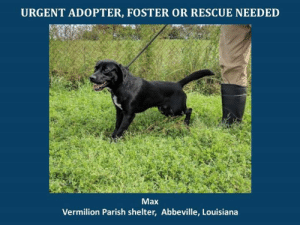 *Please note this animal is not with AAVA - we are networking for rescue as the liaison for the shelter* This baby is in a kill shelter in Abbeville, LA which does not allow public adoptions. Animals must be pulled by an approved rescue or can be adopted through AAVA.  TO ADOPT - fill out an application at http://aavarescue.com/adoptions.php  RESCUES - all rescues must now go through AAVA. Please contact us at animalaidvermilion@gmail.com. If you are not already approved please fill out a rescue application at http://aavarescue.com/rescues.php  TO FOSTER - fill out an application at http://aavarescue.com/volunteer.php  If you have any questions please contact us at animalaidvermilion@gmail.com or (337) 366-0212 or visit our website http://aavarescue.com for more information.  To donate to AAVA's general rescue fund which helps support the shelter animals needs visit this link http://paypal.me/animalaidvermilion or visit our website http://aavarescue.com/support-our-rescue.php Shelter needs can include items such as laundry detergent, baby pools, flea medication, dawn soap, heaters and fans, toys, gas for transports, pull fees for unfunded animals and other types of items.: URGENT ADOPTER, FOSTER OR RESCUE NEEDED  Max  Vermilion Parish shelter, Abbeville, Louisiana *Please note this animal is not with AAVA - we are networking for rescue as the liaison for the shelter* This baby is in a kill shelter in Abbeville, LA which does not allow public adoptions. Animals must be pulled by an approved rescue or can be adopted through AAVA.  TO ADOPT - fill out an application at http://aavarescue.com/adoptions.php  RESCUES - all rescues must now go through AAVA. Please contact us at animalaidvermilion@gmail.com. If you are not already approved please fill out a rescue application at http://aavarescue.com/rescues.php  TO FOSTER - fill out an application at http://aavarescue.com/volunteer.php  If you have any questions please contact us at animalaidvermilion@gmail.com or (337) 366-0212 or visit our website http://aavarescue.com for more information.  To donate to AAVA's general rescue fund which helps support the shelter animals needs visit this link http://paypal.me/animalaidvermilion or visit our website http://aavarescue.com/support-our-rescue.php Shelter needs can include items such as laundry detergent, baby pools, flea medication, dawn soap, heaters and fans, toys, gas for transports, pull fees for unfunded animals and other types of items.