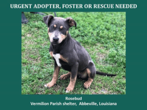 *Please note this animal is not with AAVA - we are networking for rescue as the liaison for the shelter* This baby is in a kill shelter in Abbeville, LA which does not allow public adoptions. Animals must be pulled by an approved rescue or can be adopted through AAVA.  TO ADOPT - fill out an application at http\://aavarescue.com/adoptions.php  RESCUES - all rescues must now go through AAVA. Please contact us at animalaidvermilion@gmail.com. If you are not already approved please fill out a rescue application at http\://aavarescue.com/rescues.php  TO FOSTER - fill out an application at http\://aavarescue.com/volunteer.php  If you have any questions please contact us at animalaidvermilion@gmail.com or (337) 366-0212 or visit our website http\://aavarescue.com for more information.  To donate to AAVA's general rescue fund which helps support the shelter animals needs visit this link http\://paypal.me/animalaidvermilion or visit our website http\://aavarescue.com/support-our-rescue.php Shelter needs can include items such as laundry detergent, baby pools, flea medication, dawn soap, heaters and fans, toys, gas for transports, pull fees for unfunded animals and other types of items.: URGENT ADOPTER, FOSTER OR RESCUE NEEDED  Rosebud  Vermilion Parish shelter, Abbeville, Louisiana *Please note this animal is not with AAVA - we are networking for rescue as the liaison for the shelter* This baby is in a kill shelter in Abbeville, LA which does not allow public adoptions. Animals must be pulled by an approved rescue or can be adopted through AAVA.  TO ADOPT - fill out an application at http\://aavarescue.com/adoptions.php  RESCUES - all rescues must now go through AAVA. Please contact us at animalaidvermilion@gmail.com. If you are not already approved please fill out a rescue application at http\://aavarescue.com/rescues.php  TO FOSTER - fill out an application at http\://aavarescue.com/volunteer.php  If you have any questions please contact us at animalaidvermilion@gmail.com or (337) 366-0212 or visit our website http\://aavarescue.com for more information.  To donate to AAVA's general rescue fund which helps support the shelter animals needs visit this link http\://paypal.me/animalaidvermilion or visit our website http\://aavarescue.com/support-our-rescue.php Shelter needs can include items such as laundry detergent, baby pools, flea medication, dawn soap, heaters and fans, toys, gas for transports, pull fees for unfunded animals and other types of items.