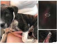 Community, Dogs, and Facebook: URGENT - Last Minute Plea for Her LIFE... Foster and Emergency Medical Pledges Needed. Struck by Car. - Maggot Infested Wound and Broken Leg.  Want to know why this little girl hates summer? Because so many puppies are surrendered to kill shelters.  Just this morning this shelter like so many others that are overflowing, had to humanely euthanize young dogs because they were getting too sick.  The shelter staff didn't want to do it.  They never do, but every shelter in our community is overflowing with puppies and adult dogs.  They simply cannot keep up with the epidemic of irresponsibility.  And, neither can we despite our never-ending efforts.  This 5-month old girl was hit by a car.  She has been spared for one more day.  She has a gaping wound that has maggots and a broken leg.  If You Lucky Dog Rescue can't save her, sadly she will be humanely euthanized too.  WHAT DO WE NEED?  Medical Fund Pledges! We hate to ask.  We fell $2,000 short of raising funds for Marigold's bilateral Femoral Head Ostectomy (she was hit by a car too), and the Hurwitch Litter that was riddled with multiple viral and bacterial infections, has cost us over $3K without sufficient donation support.  We are a small rescue, and we can't keep taking medical-needs dogs into our organization without your support.  PLEASE HELP US SAVE HER LIFE!  Comment your pledge below.  As soon as we know we can save her (hopefully today!), we will update your pledge comment with donation instructions.  CAN YOU FOSTER HER? If you live in the Greater Atlanta area and can foster, please email us ASAP at info@youluckydogrescue.org  AND, submit  an online adoption application at youluckydogrescue.org  Our raise objective for this sweet doll is $1,500.00 - if we exceed that target, we will apply the donations to cover Marigold's $4500 surgery as well as replenish the funds that were expended on the Hurwitch Litter.  Read more about Marigold Here:  https://www.facebook.com/youluckydog