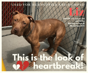 Cats, Children, and Dogs: USED FOR HER PUPPIES AND DUMPED  #64754 11/2 years old  and 50 lbs  Waiting for love@  Manhattan ACC  This is the look of  heartbreak TO BE KILLED 6/11/2019  HEARTBROKEN! TERRIFIED! TREMBLING and WHALE-EYED!    Poor Liz - she arrived at the shelter in QUESTIONABLE CONDITION WITH SOME QUESTIONABLE REASONS!  There is no doubt that her family were simply TERRIBLE OWNERS!  Just read the notes on her condition - dandruff in hair, alopecia noted on spine, dried diarrhea noted on tail, toe nails on hind feet worn down to quick and mild bleeding noted.  Plus, She looks like she has had puppies - SIGH!!!  JUST USED AND THROWN AWAY WITHOUT A CARE!  LIZ deserves better than this horrible hand she has been dealt.  SHE HAS NEVER KNOWN LOVE OR KINDNESS - just neglect and disregard.  And now, because she is in a strange, scary place and can only tremble with fear, she is set to die.  DON'T LET THAT BE HER FATE!  Please SHARE FAR AND WIDE!  Even better, please consider opening your home and your heart and #SAVELIZ now!  Liz #64754 Female brown dog @Manhattan Animal Care Center About 1 years 5 months old Weight 50.4 lbs  Owner surrender on 03-Jun-2019, with the surrender reason stated as animal behavior - aggressive towards people.  Sorry, this pet is for new hope partners only.  Liz is at risk, new hope only determination, for behavioral reasons. Liz has remained fearful at the care center and has allowed for only minimal handling. Liz would be best suited for placement with a new hope partner that can provide the necessary behavior modification. Medically, Liz may have a skin condition which may need further care.  My medical notes are... Weight: 50.4 lbs  Vet Notes 5/06/2019  DVM Intake Exam  Estimated age: Approximately 1 year old based on dentition Microchip noted on Intake? No Microchip Number (If Applicable):  History : Owner surrender due to growling, showing teeth to child, unable to be handled by adoption counselors, owner had to microchip and place in kennel Subjective: sedated intake examination Observed Behavior - Extremely fearful, in corner trying to bite if approached  Evidence of Cruelty seen - No Evidence of Trauma seen - No  Objective  Sedated intake examination (0.7ml dexmedetomidine, 0.5ml butorphanol IM), Euhydrated T = P = WNL for sedation R = WNL for sedation BCS 5/9 EENT: Eyes clear, ears clean, no nasal or ocular discharge noted Oral Exam: Minimal tartar noted on teeth, pink mm PLN: No enlargements noted H/L: NSR, NMA, CRT < 2, Lungs clear, eupnic ABD: Non painful, no masses palpated U/G: Intake female, enlarged vulva MSI: Ambulatory x 4, skin free of parasites, no masses noted, dandruff in hair, focal area of alopecia noted on dorsum at level of spine, skin not red or inflamed, some dried diarrhea noted on tail, toe nails on hind feet worn down to quick and mild bleeding noted CNS: Mentation appropriate - no signs of neurologic abnormalities  Assessment 1. Dry, hair coat with dandruff 2. Focal area of alopecia - allergies vs old wound vs other 3. Dried diarrhea on tail - current diarrheal cause vs previous/resolved cause  Prognosis: Good Plan: 1. Behavior evaluation 2. Schedule spay surgery 3. Monitor for diarrhea   SURGERY: Okay for surgery   MG supervised by 1493  Details on my behavior are... Behavior Condition: 4. Orange  Behavior History Behavior Assessment Upon intake dog did not allow any handling, Owner had to scan for microchip, collar and put in the kennel.  Basic Information:: 1yr old large mixed breed owner surrender  Previously lived with:: 2 adult 3 children (17, 14, 4)  How is this dog around strangers?: Client stated dog does not do well with strangers and will not allow handling  How is this dog around children?: Client stated dog wants to play with children while at the park but has been aggressive towards there 4yr old sister growling and showing teeth.  How is this dog around other dogs?: Client stated that the dog is dog reactive and if another dog approaches that she is scared what will happen  How is this dog around cats?: Client stated that the dog is fearful of cats.  Resource guarding:: No resource guarding stated.  Bite history:: No bite history noted  Housetrained:: Yes  Energy level/descriptors:: high energy  Has this dog ever had any medical issues?: No  Behavior Assessment Date of intake:: 6/3/2019  Spay/Neuter status:: No  Means of surrender (length of time in previous home):: Owner Surrender  Previously lived with:: Adults and children (ages 4, 14, and 17)  Behavior toward strangers:: Does not do well with them or allow handling  Behavior toward children:: Has growled and show teeth at the 4 year old in the home  Behavior toward dogs:: Reactive  Behavior toward cats:: Fearful of them  Resource guarding:: None reported  Bite history:: None reported  Housetrained:: Yes  Energy level/descriptors:: Liz is described as having a high level of activity.  Summary:: At the care center, Liz has remained extremely fearful while inside her kennel and while out on a leash. She has a tense body, tucked tail, whale-eye, moves away from handlers and is extremely uncomfortable with any attempts at handling. That, in conjunction with her owners report, which states that she does not allow handling from strangers, and has growled and bared teeth at the child in the home, makes her an unsafe candidate for a handling assessment at this time.   Summary:: 6/5: When introduced to the helper dog on leash, Liz is fearful and does not approach. From afar, she does sniff and lean toward him in interest.  Date of intake:: 6/3/2019  Summary:: Did not allow handling  ENERGY LEVEL:: Liz is described as having a high level of activity. She will need daily mental and physical activity to keep her engaged and exercised. We recommend long-lasting chews, food puzzles, and hide-and-seek games, in additional to physical exercise, to positively direct her energy and enthusiasm. We recommend feeding with puzzle feeders and food-dispensing toys. And we recommend only force-free, reward-based training techniques for Static.  IN SHELTER OBSERVATIONS:: 6/7/19: Liz is extremely fearful in her kennel. She remains near the back of her kennel laying on her bed. Multiple treats are tossed near here but she doesn't eat any of them. She allows the leash to be placed around her neck but she doesn't get up and leave her kennel. She is shaking and has whale-eye during this interaction.  BEHAVIOR DETERMINATION:: New Hope Only  Behavior Asilomar: TM - Treatable-Manageable  Recommendations:: No children (under 13),Place with a New Hope partner  Recommendations comments:: No children: Liz has remained extremely fearful at the care center. She has allowed only minimal handling and remains tense, trembling, and whale-eyed during any interactions with staff. Her previous owners also report that she has growled and bared teeth at the child in the home. For these reasons, we recommend an adult-only home for Liz.   Place with a New Hope partner: Liz has not acclimated well to the kennel environment and has allowed only minimal handling since intake. We recommend placement with a New Hope partner who can provide any necessary behavior modification (force-free, positive reinforcement-based) and re-evaluate behavior in a stable home environment before placement into a permanent home.   Potential challenges: : Handling/touch sensitivity,Fearful/potential for defensive aggression,On-leash reactivity/barrier frustration  Potential challenges comments:: Handling/touch sensitivity: Liz has remained extremely fearful at the care center and shown handling/touch sensitivity. She remains tense, trembling, and whale-eyed during any interactions or when any handling is attempted. Please see handout on Handling/touch sensitivity.  Fearful/potential for defensive aggression: Liz has remained extremely fearful at the care center both inside and out of her kennel. She has allowed minimal to no handling by staff. The previous owners report that she does not allow handling by strangers and has growled and bared teeth at the child in the home. Please see handout on Fearful/potential for defensive aggression.  On-leash reactivity/barrier frustration: The previous owners report that Liz is dog reactive. This particular behavior has not been observed at the care center due to Liz's extreme levels of fear. If this behavior does present itself in a home environment, please see handout on On-leash reactivity/barrier frustration.  *** TO FOSTER OR ADOPT ***  If you would like to adopt a NYC ACC dog, and can get to the shelter in person to complete the adoption process, you can contact the shelter directly. We have provided the Brooklyn, Staten Island and Manhattan information below. Adoption hours at these facilities is Noon – 8:00 p.m. (6:30 on weekends)  If you CANNOT get to the shelter in person and you want to FOSTER OR ADOPT a NYC ACC Dog, you can PRIVATE MESSAGE our Must Love Dogs page for assistance. PLEASE NOTE: You MUST live in NY, NJ, PA, CT, RI, DE, MD, MA, NH, VT, ME or Northern VA. You will need to fill out applications with a New Hope Rescue Partner to foster or adopt a NYC ACC dog. Transport is available if you live within the prescribed range of states.  Shelter contact information: Phone number (212) 788-4000 Email adopt@nycacc.org Shelter Addresses: Brooklyn Shelter: 2336 Linden Boulevard Brooklyn, NY 11208 Manhattan Shelter: 326 East 110 St. New York, NY 10029 Staten Island Shelter: 3139 Veterans Road West Staten Island, NY 10309  *** NEW NYC ACC RATING SYSTEM ***  Level 1 Dogs with Level 1 determinations are suitable for the majority of homes. These dogs are not displaying concerning behaviors in shelter, and the owner surrender profile (where available) is positive. Some dogs with Level 1 determinations may still have potential challenges, but these are challenges that the behavior team believe can be handled by the majority of adopters. The potential challenges could include no young children, prefers to be the only dog, no dog parks, no cats, kennel presence, basic manners, low level fear and mild anxiety.  Level 2  Dogs with Level 2 determinations will be suitable for adopters with some previous dog experience. They will have displayed behavior in the shelter (or have owner reported behavior) that requires some training, or is simply not suitable for an adopter with minimal experience. Dogs with a Level 2 determination may have multiple potential challenges and these may be presenting at differing levels of intensity, so careful consideration of the behavior notes will be required for counselling. Potential challenges at Level 2 include no young children, single pet home, resource guarding, on-leash reactivity, mouthiness, fear with potential for escalation, impulse control/arousal, anxiety and separation anxiety.  Level 3 Dogs with Level 3 determinations will need to go to homes with experienced adopters, and the ACC strongly suggest that the adopter have prior experience with the challenges described and/or an understanding of the challenge and how to manage it safely in a home environment. In many cases, a trainer will be needed to manage and work on the behaviors safely in a home environment. It is likely that every dog with a Level 3 determination will have a behavior modification or training plan available to them from the behavior department that will go home with the adopters and be made available to the New Hope Partners for their fosters and adopters. Some of the challenges seen at Level 3 are also seen at Level 1 and Level 2, but when seen alongside a Level 3 determination can be assumed to be more severe. The potential challenges for Level 3 determinations include adult only home (no children under the age of 13), single pet home, resource guarding, on-leash reactivity with potential for redirection, mouthiness with pressure, potential escalation to threatening behavior, impulse control, arousal, anxiety, separation anxiety, bite history (human), bite history (dog) and bite history (other).  New Hope Rescue Only  Dog is not publicly adoptable. Prospective fosters or adopters need to fill out applications with New Hope Partner Rescues to save this dog.