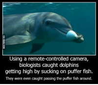 Dank, 🤖, and Idea: Using a remote-controlled camera,  biologists caught dolphins  getting high by sucking on puffer fish.  They were even caught passing the puffer fish around This Is A Picture Of A Dolphin Getting High. I Had No Idea They Could Do This.