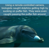 "Memes, Camera, and Dolphins: Using a remote-controlled camera,  biologists caught dolphins getting high by  sucking on puffer fish. They were even  caught passing the puffer fish around <p>Puff Puff Pass via /r/memes <a href=""http://ift.tt/2zzlH4p"">http://ift.tt/2zzlH4p</a></p>"