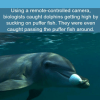 Camera, Dolphins, and Fish: Using a remote-controlled camera,  biologists caught dolphins getting high by  sucking on puffer fish. They were even  caught passing the puffer fish around. <p>Dolphins Can Also Get High.</p>