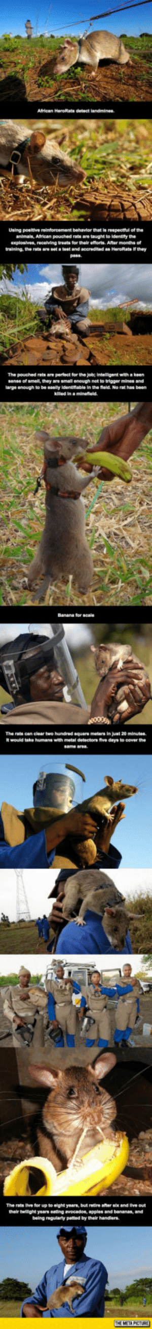 lolzandtrollz:  The Real Heroes You Don't Hear About: Using posltive reinforcement behavior that Is respectful of the  animais, African pouched rats are taught to Identry the  axploslves, recelving treats for their efferts. Aftar months ef  training, the rats are set a test and seeradited as HaroRats if they  pass  The pouched rats aro pertect for the job; intelligent with keen  sense of smell, they are small enough not to trigger mines and  arge enough to be easily Identlable in the fleld. No rat has been  The rats can clear two hundred square meters in Juat 20 minubes  d take humans win metal detactors five days to cover the  The rats Iive for up to eight years, but retire after six and Ilve out  their twllight years eating avocados, apples and bananas, and  being regularty pated by their handars lolzandtrollz:  The Real Heroes You Don't Hear About