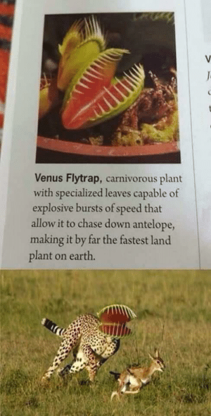 Chase, Earth, and Venus: V  J  Venus Flytrap, carnivorous plant  with specialized leaves capable of  explosive bursts of speed that  allow it to chase down antelope,  making it by far the fastest land  plant on earth. My apologies if this has been posted already