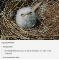 25 Funny Animal Memes – Funnyfoto | Funny Pictures - Videos - Gifs - Page 22: vaguelychimerical:  biologizeable:  Hi hello I just need everyone to look at this picture of a baby Tawny  Frogmouth  smug ass marshmallow 25 Funny Animal Memes – Funnyfoto | Funny Pictures - Videos - Gifs - Page 22