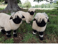 Sheep: Valais Blacknose sheep