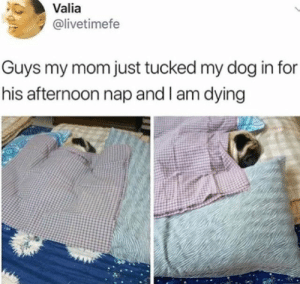 Dog Memes Of The Day 32 Pics – Ep52 #animalmemes #dogmemes #memes #dogs - Lovely Animals World: Valia  @livetimefe  Guys my mom just tucked my dog in for  his afternoon nap and l am dying Dog Memes Of The Day 32 Pics – Ep52 #animalmemes #dogmemes #memes #dogs - Lovely Animals World