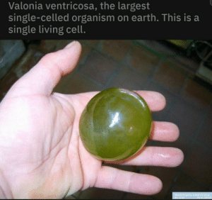 Forbidden grape: Valonia ventricosa, the largest  single-celled organism on earth. This is a  single living cell.  Ventricaria ventricosa  ID: 2117  Piea: 37257 Forbidden grape