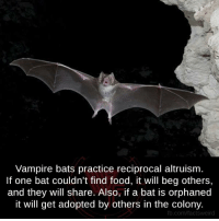 bat: Vampire bats practice reciprocal altruism.  If one bat couldn't find food, it will beg others,  and they will share. Also, if a bat is orphaned  it will get adopted by others in the colony.  fb.com/factsweird