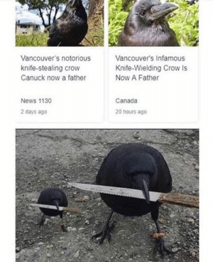 News, Canada, and Infamous: Vancouver's Infamous  Vancouver's notorious  Knife-Wielding Crow Is  Now A Father  knife-stealing crow  Canuck now a father  Canada  News 1130  2 days ago  20 hours ago Me irl