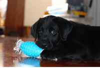 Beautiful, Dog, and Grow: Vaughn is going to grow up to be a guide dog