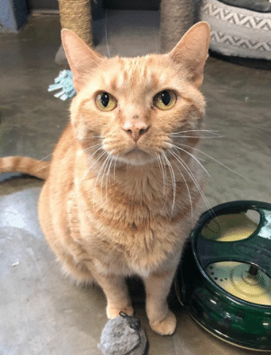 Cats, Dogs, and Life: VAVAVAY If you are looking for an all around Great Cat, look no further! My name is Reign (I have a sister named Rain) and I'm 4 1/2 yrs. old. I'm a very friendly, outgoing gal who enjoys everything about life! I like to play with toys, I enjoy a good belly rub, treats make me very happy, and snuggling up on a lap for a good cuddle cannot be beat! I lived with a couple of big dogs and a turtle and was fine with them also. Now I'm staying in a room at Tails with several other cats, including my sister. Unless I'm sleeping, I'll probably come right out and greet you. Come in and see for yourself just what a special girl I am!
