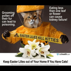 vederlicht: korino21:  catloversplace:  this-isnotmy-cat:  Pass it on.  Follow Us For Cats!   Legit I just had this talk with my parents this morning. My day bought an Easter Lilly and I told him to get rid of it  Very important! Also important to note: Daffodils are part of the lily family, so they pose a threat to cats as well. Be aware and keep the purry friends safe.  : vederlicht: korino21:  catloversplace:  this-isnotmy-cat:  Pass it on.  Follow Us For Cats!   Legit I just had this talk with my parents this morning. My day bought an Easter Lilly and I told him to get rid of it  Very important! Also important to note: Daffodils are part of the lily family, so they pose a threat to cats as well. Be aware and keep the purry friends safe.