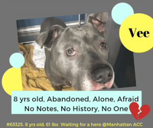Being Alone, Animals, and Cats: Vee  8 yrs old, Abandoned, Alone, Afraid  No Notes, No History, No One  #63325, 8 yrs old. 61 lbs waiting for a hero @Manhattan ACC TO BE KILLED 5/30/2019  JUST IMAGINE AT 8 YEARS OLD FINDING YOURSELF ABANDONED AND ALONE!    Even worse, abandoned at a scary shelter with no notes, no history, NOTHING TO SAVE HIS LIFE!  Vee is breaking our hearts.  He is scared at the shelter and all he has is one terrible picture to save him.   And all the shelter does is medicate him and leave him in his kennel.  ADDING TO HIS TROUBLES, HE NOW HAS THE DREADED SHELTER COLD.  And so Vee is set to die.  Please please help advocate for him, Please help find a hero to save him or even better - PLEASE CONSIDER OPENING YOUR HOME AND YOUR HEART AND #SAVEVEE now!  Vee #63325 Male gray dog  @ Manhattan Animal Care Center About 8 years old. Weight 61.3 lbs Surrendered as a agency on 19-May-2019.  Sorry, this pet is for new hope partners only.  Vee is at risk for behavioral and medical reasons. Vee has remained fearful at the care center and allowed for only minimal handling. Vee would be best suited for placement with a new hope partner that can provide the necessary behavior modification. Medically, Vee was diagnosed with canine infectious respiratory disease complex which is contagious to other animals and will require in home care.  https://newhope.shelterbuddy.com/Animal/Profile/Index/823c47ec-08e7-43d2-9b37-6a8693feccc8  My medical notes are... Weight: 61.3 lbs  Vet Notes L V T Notes 22/05/2019  [DVM Intake] DVM Intake Exam  Estimated age:8y Microchip noted on Intake?n Microchip Number (If Applicable):  History :stray  Subjective:  Observed Behavior -wary of handlers, tail down. snapped at muzzle repeatedly. sedated with 0.5ml/0.5ml dexdormitor/butophanol IM  Evidence of Cruelty seen -n  Evidence of Trauma seen -n  Objective   T = P =60 R =wnl BCS 5/9  EENT: Ou dc os>od Os hyperemic conjunctivia with purulent dc. - flour stain, lower lid entropion, hyperpigmentation of cornea. thickened pinna margins esp left ear Oral Exam:front teeth clean PLN: No enlargements noted H/L: NSR, NMA, CRT < 2, Lungs clear, eupnic ABD: Non painful, no masses palpated U/G:2 testes MSI: Ambulatory x 4, skin free of parasites, cystic nipple noted, healthy hair coat CNS: Mentation appropriate - no signs of neurologic abnormalities  Assessment: entropion, mass (benign abdomen)  Prognosis:good  Plan: tab ou bid long term until entropion can be addressed  SURGERY:  Permanent waiver due to age  27/05/2019  SO  BAR in kennel. P is hard barking at kennel front   EN -- eyes are clear. P is coughing intermittently, has serous nasal discharge   A  CIRDC   P  enrofloxacin 204mg tablet -- give 1 1/3 tablet PO q24h x 10 days  cerenia 60mg tablet -- give 1 tablet PO q24h x 4 days  L V T Notes 28/05/2019  As per Dr 1516, gave 50 mg acepromazine at 12:40PM. Sedated with 1ml butorphanol and 0.8 ml dexdomitor at 1:50PM. Reversed with 0.8ml antisedan at 2:20PM.  Details on my behavior are... Behavior Condition: 3. Yellow  Behavior Assessment Date of intake:: 5/19/2019  Means of surrender (length of time in previous home):: Stray  Date of assessment:: 5/22/2019  Summary:: When an attempt was made to take Vee out of his kennel to preform the assessment, he was unable to be safely removed from the kennel. As soon as the leash was on his in the kennel, he began to growl, and then lunged forward, hard barking. For this reason, a handling assessment was unable to be preformed.  ENERGY LEVEL:: We have no history on Vee so we cannot be certain of his behavior in a home environment.  BEHAVIOR DETERMINATION:: New Hope Only  Behavior Asilomar: TM - Treatable-Manageable  Recommendations:: No children (under 13),Place with a New Hope partner  Recommendations comments:: No children: Due to how uncomfortable Vee is currently with touch and novel stimuli, we feel that an adult-only home would be most beneficial at this time.   Place with a New Hope partner: Vee has not acclimated well to the kennel environment and has allowed only minimal handling since intake, growling and hard barking when attempts are made to take him out of the kennel. We recommend placement with a New Hope partner who can provide any necessary behavior modification (force-free, positive reinforcement-based) and re-evaluate behavior in a stable home environment before placement into a permanent home.  Potential challenges: : Fearful/potential for defensive aggression  Potential challenges comments:: Fearful/potential for defensive aggression: When an attempt was made to take Vee out of his kennel, he became reactive as soon as the leash was placed on him. He growled and lunged forward, hard barking. He is not able to be safely removed from his kennel at the care center. He will need a very slow approach and positive reinforcement training. Please see handout on Fearful/potential for defensive aggression.  *** TO FOSTER OR ADOPT ***  If you would like to adopt a NYC ACC dog, and can get to the shelter in person to complete the adoption process, you can contact the shelter directly. We have provided the Brooklyn, Staten Island and Manhattan information below. Adoption hours at these facilities is Noon – 8:00 p.m. (6:30 on weekends)  If you CANNOT get to the shelter in person and you want to FOSTER OR ADOPT a NYC ACC Dog, you can PRIVATE MESSAGE our Must Love Dogs page for assistance. PLEASE NOTE: You MUST live in NY, NJ, PA, CT, RI, DE, MD, MA, NH, VT, ME or Northern VA. You will need to fill out applications with a New Hope Rescue Partner to foster or adopt a NYC ACC dog. Transport is available if you live within the prescribed range of states.  Shelter contact information: Phone number (212) 788-4000 Email adopt@nycacc.org Shelter Addresses: Brooklyn Shelter: 2336 Linden Boulevard Brooklyn, NY 11208 Manhattan Shelter: 326 East 110 St. New York, NY 10029 Staten Island Shelter: 3139 Veterans Road West Staten Island, NY 10309  *** NEW NYC ACC RATING SYSTEM ***  Level 1 Dogs with Level 1 determinations are suitable for the majority of homes. These dogs are not displaying concerning behaviors in shelter, and the owner surrender profile (where available) is positive. Some dogs with Level 1 determinations may still have potential challenges, but these are challenges that the behavior team believe can be handled by the majority of adopters. The potential challenges could include no young children, prefers to be the only dog, no dog parks, no cats, kennel presence, basic manners, low level fear and mild anxiety.  Level 2  Dogs with Level 2 determinations will be suitable for adopters with some previous dog experience. They will have displayed behavior in the shelter (or have owner reported behavior) that requires some training, or is simply not suitable for an adopter with minimal experience. Dogs with a Level 2 determination may have multiple potential challenges and these may be presenting at differing levels of intensity, so careful consideration of the behavior notes will be required for counselling. Potential challenges at Level 2 include no young children, single pet home, resource guarding, on-leash reactivity, mouthiness, fear with potential for escalation, impulse control/arousal, anxiety and separation anxiety.  Level 3 Dogs with Level 3 determinations will need to go to homes with experienced adopters, and the ACC strongly suggest that the adopter have prior experience with the challenges described and/or an understanding of the challenge and how to manage it safely in a home environment. In many cases, a trainer will be needed to manage and work on the behaviors safely in a home environment. It is likely that every dog with a Level 3 determination will have a behavior modification or training plan available to them from the behavior department that will go home with the adopters and be made available to the New Hope Partners for their fosters and adopters. Some of the challenges seen at Level 3 are also seen at Level 1 and Level 2, but when seen alongside a Level 3 determination can be assumed to be more severe. The potential challenges for Level 3 determinations include adult only home (no children under the age of 13), single pet home, resource guarding, on-leash reactivity with potential for redirection, mouthiness with pressure, potential escalation to threatening behavior, impulse control, arousal, anxiety, separation anxiety, bite history (human), bite history (dog) and bite history (other).  New Hope Rescue Only  Dog is not publicly adoptable. Prospective fosters or adopters need to fill out applications with New Hope Partner Rescues to save this dog.