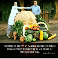 Vegetals: Vegetables grown in Alaska become gigantic  because they receive up to 20 hours of  sunlight per day. wins Or